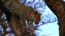 Leopard Climbs Slowly Down From Tree, Staring Fixedly