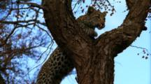 Leopard Climbs Slowly Up Tree, Staring Fixedly