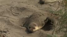 Elephant Seal Throws Sand On Back Using Front Flippers