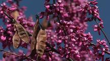 Flowering Tree, Big Sur