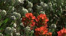 Indian Paintbrush Among Yarrow Flowers, Big Sur
