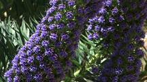 Large Purple Flowers, Big Sur