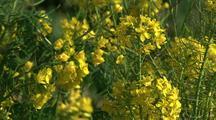 Field Of Yellow Wildflowers,Big Sur