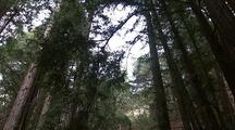 Tall Trees And Creek, Big Sur