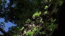 Ferns In Forest, Big Sur