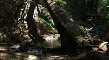 Creek In Forest, Big Sur