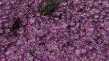 Dense Field Of Iceplant Flowers, Big Sur