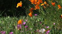 Wildflowers, Big Sur