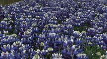 Field Of Lupin Flowers