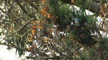 Monarch Butterflies Swarm