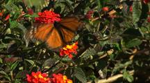 Monarch Butterfly On Lantana Flowers, Flies Away