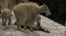 Mountain Goats With Young