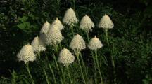 Wildflowers, Bear Grass
