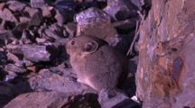 Small Mammal On Rocks, Probably A Pika