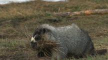 Hoary Marmot Gathers Grass