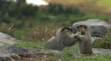Hoary Marmots Fighting
