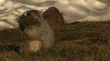 Hoary Marmots Gather Grass