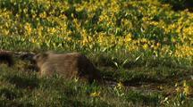 Marmots Fighting In Field Of Flowers