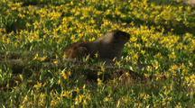Marmot Feeds In Field Of Flowers
