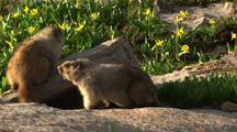 Marmots Fighting Or Playing Near Den
