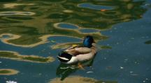 Mallard Duck In A Pond