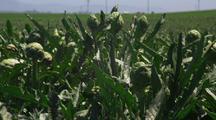 Ripe Artichokes Growing In A Field