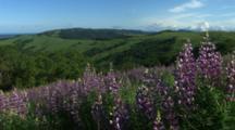 Purple Lupine In Green Hills, Panorama