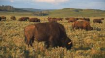 Close Up Of Herd Of Bison Grazing