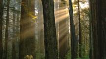 Sun Rays Stream Through A Redwood Forest