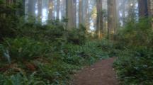Walking Through Redwood Forest As Sun Rays Stream Through