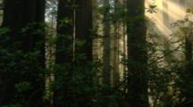Travel Through Redwood Forest As Sun Rays Stream Through