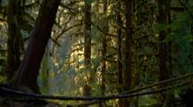 Morning Light In Temperate Rainforest