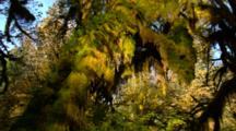 Morning Light Illuminates Hanging Moss In Forest