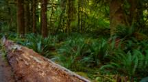 Fallen Log Among Ferns In Temperate Rainforest