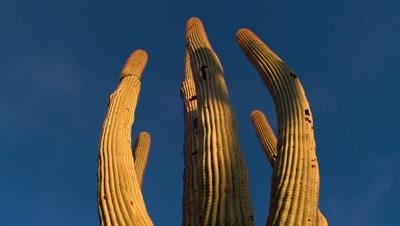 Close-Up Saguaro Cactus, Looking Up