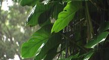 Rain Falls On Forest Plants, Hawaii
