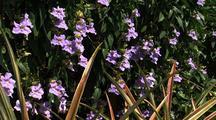 Lavender Flowers, Hawaii