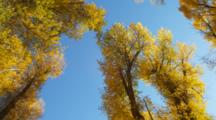 Looking Up At Branches And Golden Leaves In Forest, Possibly Birch