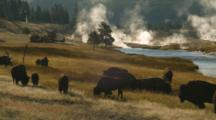 Bison Graze By Firehole River