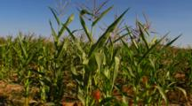 Field Of Corn, Close Up Of Plants, Ears Of Corn With Silk