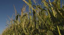 Field Of Corn, Close Up Of Plants