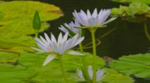 Water Lilies On Pond With Bees