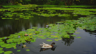 Water Lilies And Duck On Pond