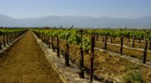 Looking Down Row In Vineyard In Southern California