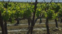 Vineyard In Southern California