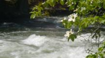 Dogwood Flowers Hang Over Fast Stream In Yosemite Valley