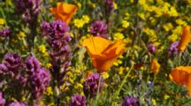 Close Up California Poppies And Other Flowers