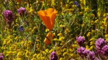 California Poppy And Other Flowers