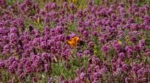 Single California Poppy Among Owl's Clover