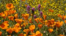 California Poppy And Other Wildflowers